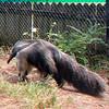 Gian anteater-303