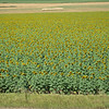 Today, sunflowers are a popular crop in Nebraska.