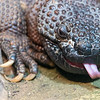 Animals, Beaded Lizard, Cold Blooded Corner, Marwell Zoo @ Marwell Zoo, City of Winchester,England - 22/03/2018