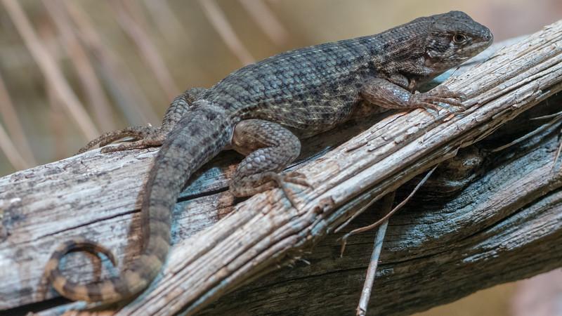 Animals, Cold Blooded Corner, Lizard, Marwell Zoo, Northern Curly-tailed Lizard @ Marwell Zoo, City of Winchester,England - 22/03/2018