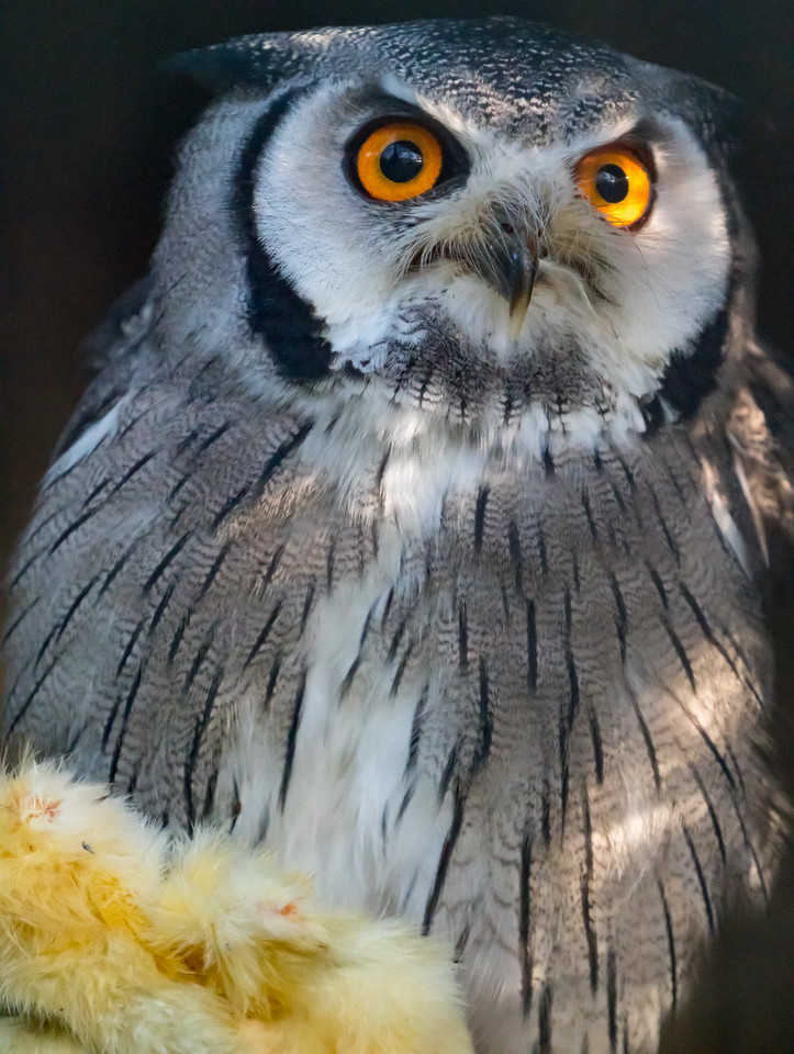 Animals, Birds, Marwell Zoo, Northern White Faced Owl, Owl @ Marwell Zoo, City of Winchester,England - 24/02/2018