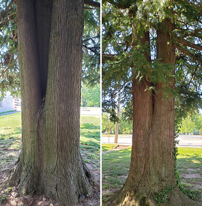 2 large cedar trees in the front yard