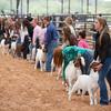 Hays_County_Show-6594