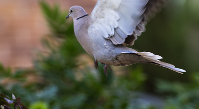 Collared Turtledove  / Tórtola Turca