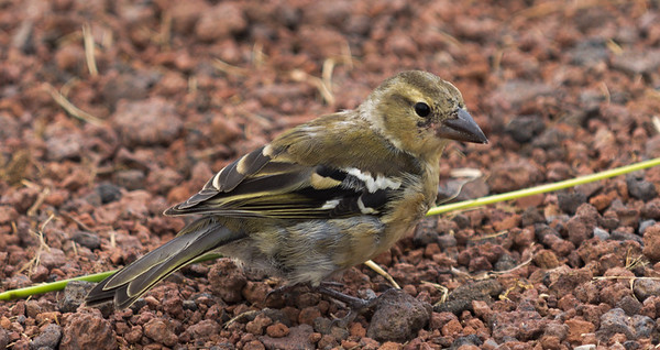 Common Chaffinch (female) / Pinzón Vulgar (hembra)