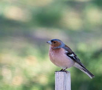 Common Chaffinch (male) / Pinzón Vulgar (macho)