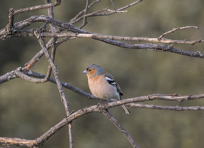 Common Chaffinch (male) / Pinzón Vulgar (macho)