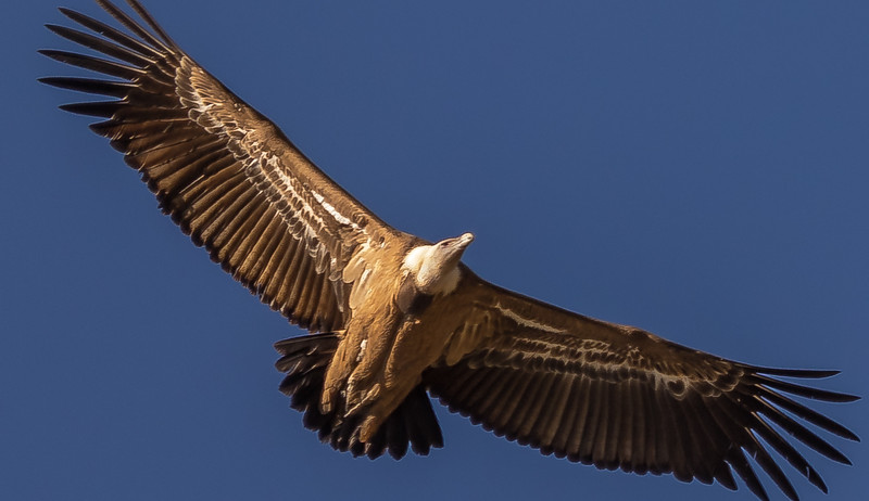 Griffon Vulture / Buitre Leonado