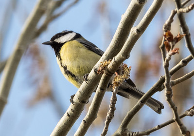 Great Tit (female) / Carbonero Común (hembra)