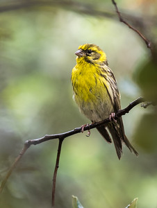 European Serin (male) / Serin Verdecillo (macho)