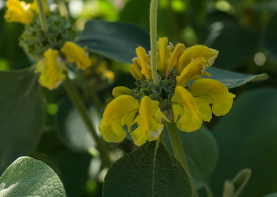 Phlomis fructicosa