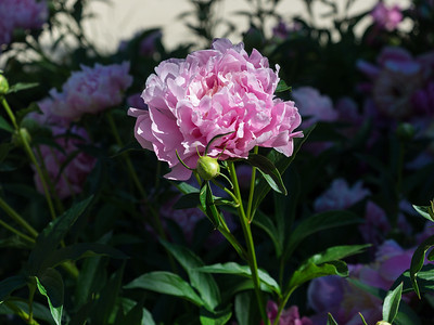 Peonia Officinalis