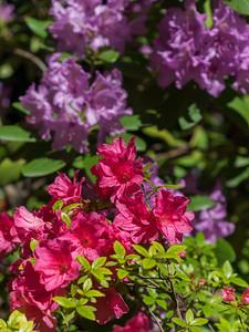 Rohododendron ferrugineum