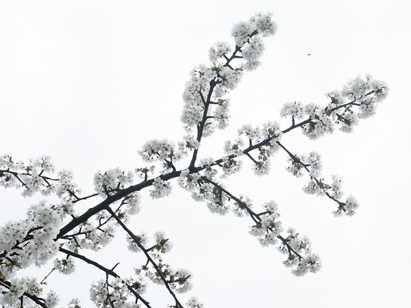 Les cerisiers de Mösbach
