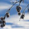 Fleurs de givre nées d'un matin bleu...