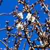 Amandier en fleurs, Corbières, Aude
