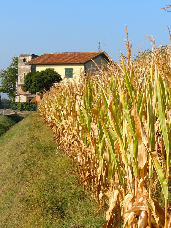 Corn fields on the way from Ronta to Fiesole, Italy