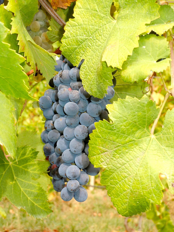 Grapes on the road to Comacchio, Italy