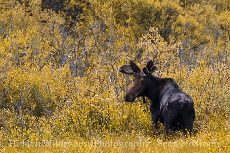 Smooth Moose