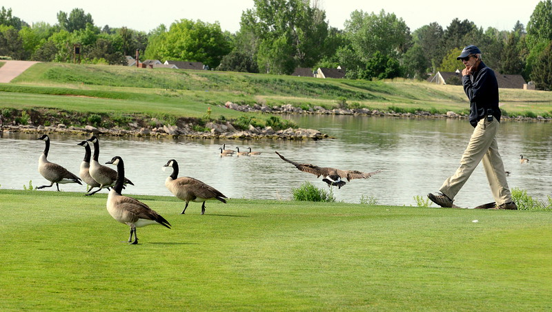 A rules official clears geese off the 10th green at the start of Tuesday's second round of the 4A state girls golf tournament at Country Club of  Colorado in Colorado Springs. (Mike Brohard/Loveland Reporter-Herald)