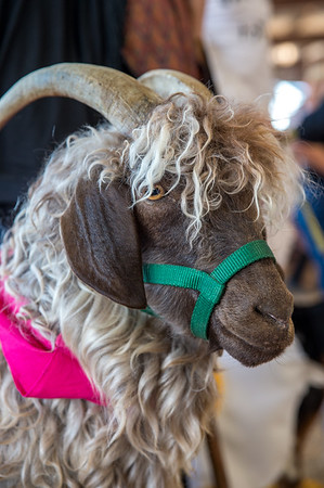 Goat costume class at the Boulder County Fair in Longmont, Colorado on August 3, 2019.