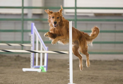 9-3-2017 NorCal Goldens-3991