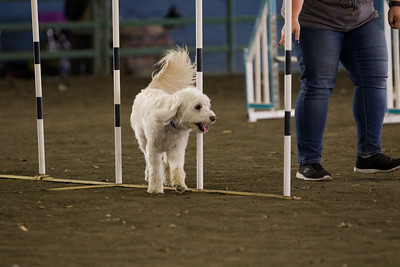 11-11-2018 NorCal Goldens-6527
