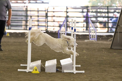 11-11-2018 NorCal Goldens-6536