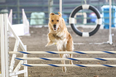 11-11-2018 NorCal Goldens-6147