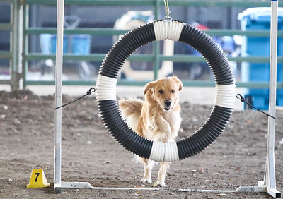11-11-2018 NorCal Goldens-6137
