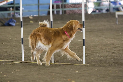 11-11-2018 NorCal Goldens-6143