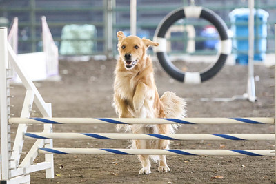 11-11-2018 NorCal Goldens-6146