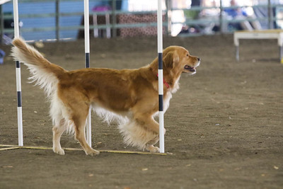 11-11-2018 NorCal Goldens-6144