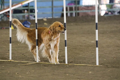 11-11-2018 NorCal Goldens-6142