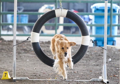 11-11-2018 NorCal Goldens-6139
