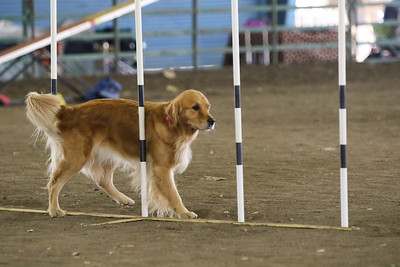 11-11-2018 NorCal Goldens-6141