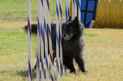 11-4-2018 Border Terrier-1506
