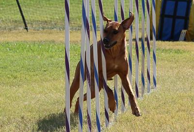 11-4-2018 Border Terrier-1412