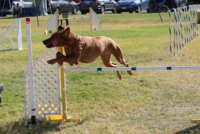 11-4-2018 Border Terrier-1418