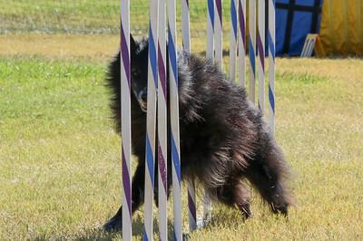 11-4-2018 Border Terrier-1509