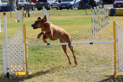 11-4-2018 Border Terrier-1417
