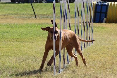 11-4-2018 Border Terrier-1416