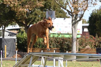 11-4-2018 Border Terrier-0867