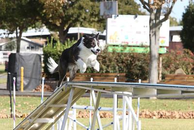 11-4-2018 Border Terrier-0862