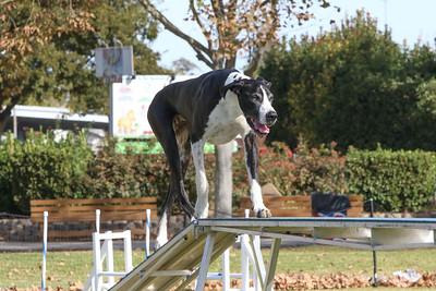 11-4-2018 Border Terrier-0883