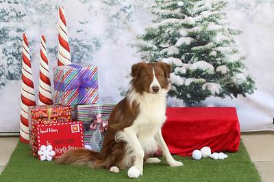 11-4-2018 Border Terrier-0546