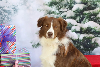 11-4-2018 Border Terrier-0551