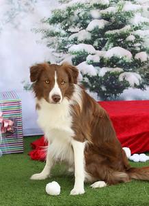 11-4-2018 Border Terrier-0556
