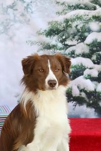 11-4-2018 Border Terrier-0543