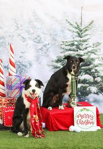 11-4-2018 Border Terrier-0794